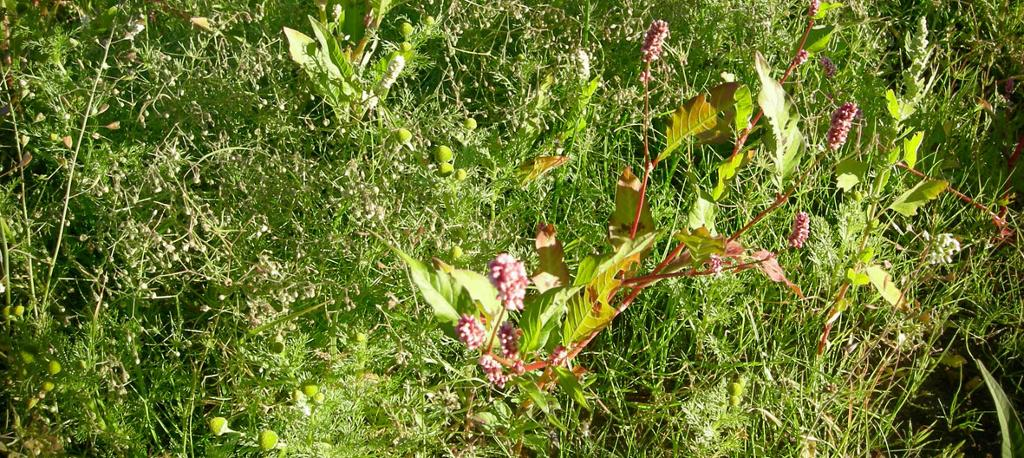 Tett vegetasjon av linbendel, tunbalderbrå og hønsegras. Foto.