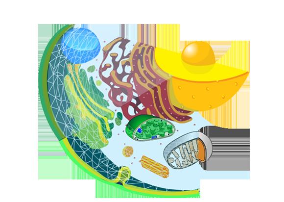 Skjematisk tegning av eukaryot celle. Illustrasjon
