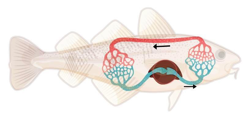 Tegning av fisk med påtegnet forenklet sirkulasjonssystem.