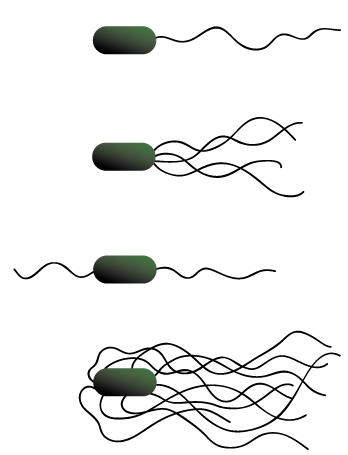 tegning av fire måter flageller kan være festet på.