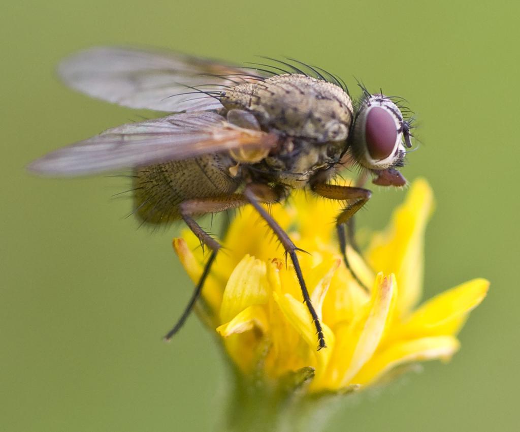 En flue sitter på en blomst. Foto.