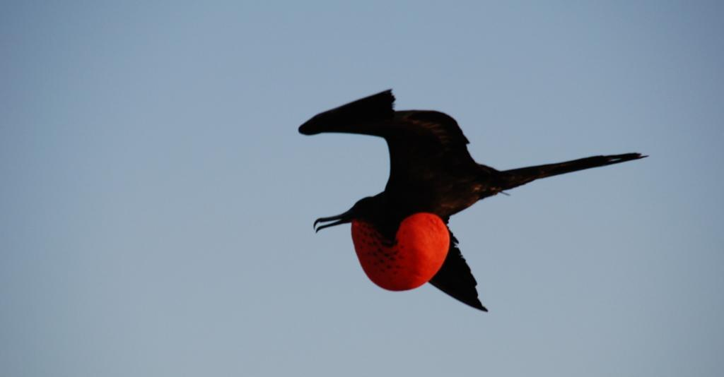 Flyvende fugl med oppblåst strupe. Foto.