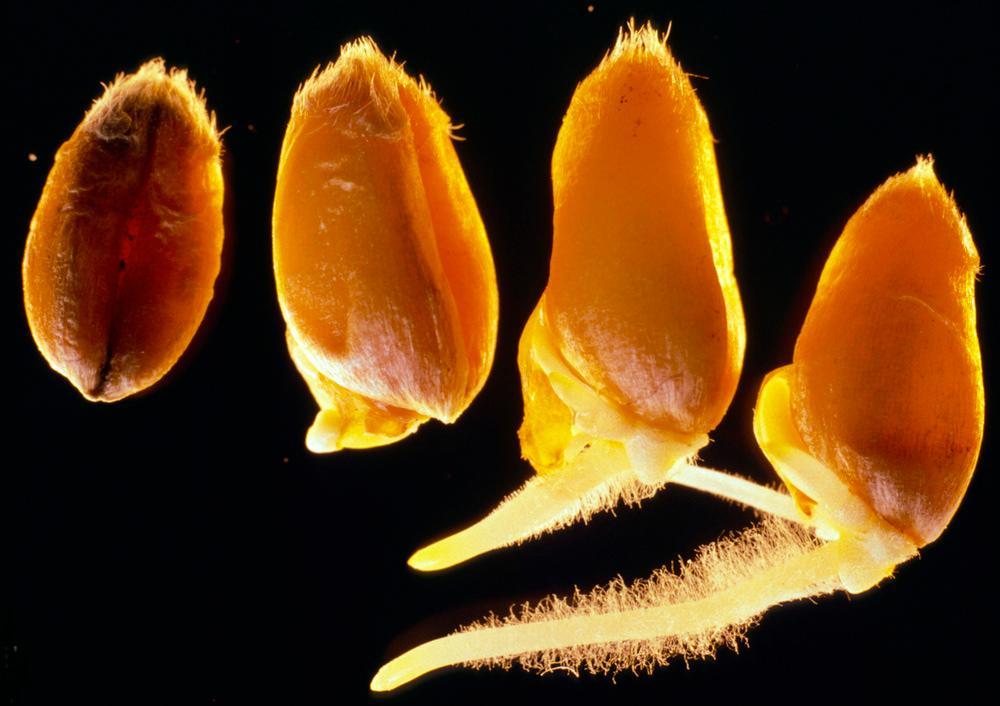 Frøspire og dens rotutvikling i de ulike stadiene med mer og mer rothår. Foto.