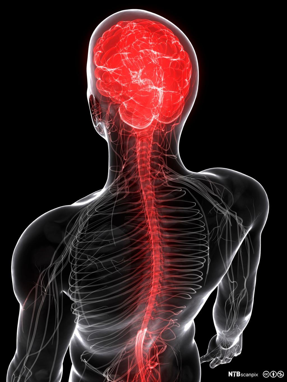Overkropp der hjerne og ryggmerg er markerte. Illustrasjon.