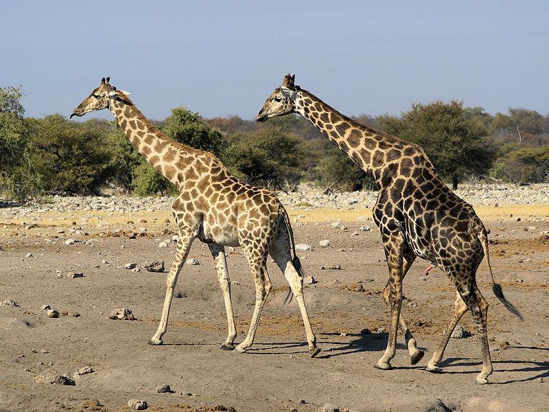 To giraffer på langsom vandring over ei slette. Trær i bakgrunnen. Foto.