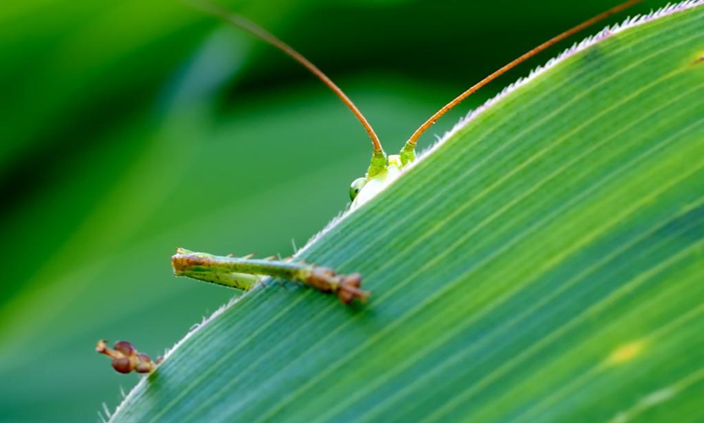 Gresshoppe stikker opp bak eit grønt blad. Foto.