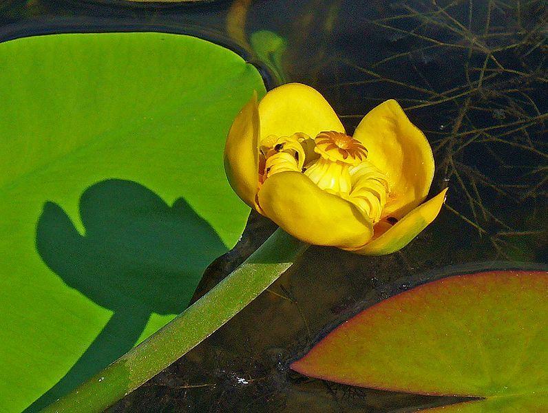 Blomst hos gul nøkkerose. Foto.
