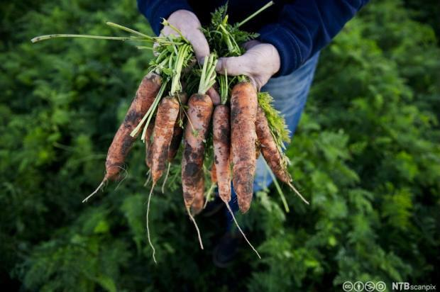 Bunt med gulrøtter med jord holdes fram. Foto.