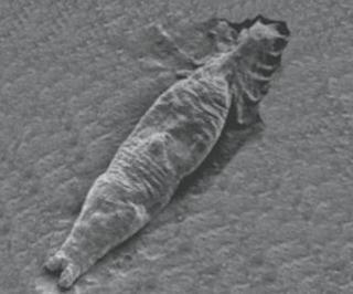 Mikroskopbilde av parasitten Gyorodactylus salaris.