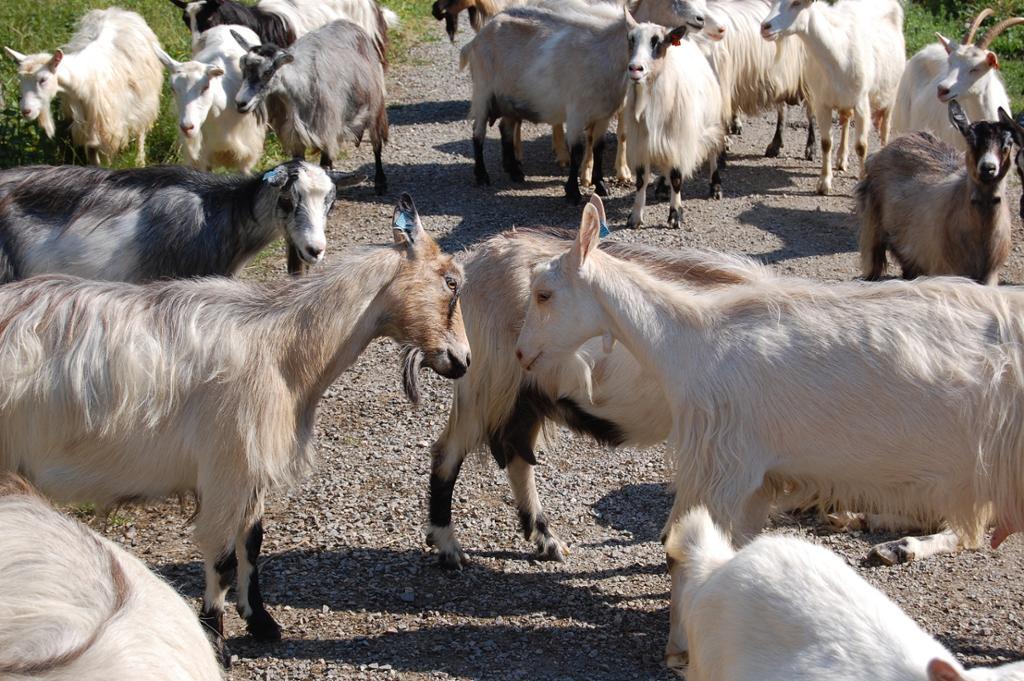 Hei på deg sier geitene til hverandre