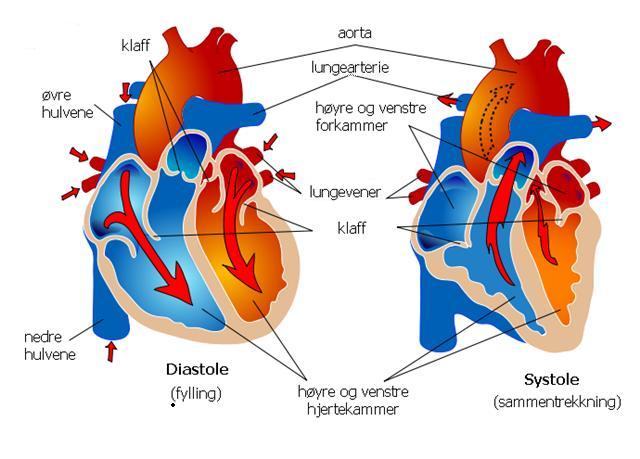 Tegning over hjertets oppbygning med navn. Illustrasjon.