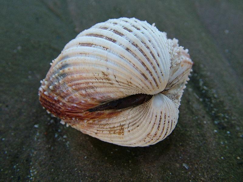 En hvit buet musling som med sine to buede skall er nokså rund.