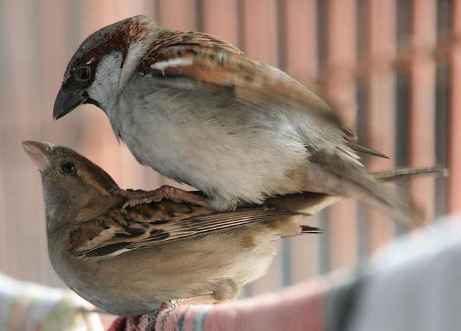 Gråspurv hann og hunn som kopulerer