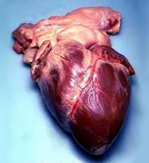 Hjertet med synlige kransarterier. Foto.