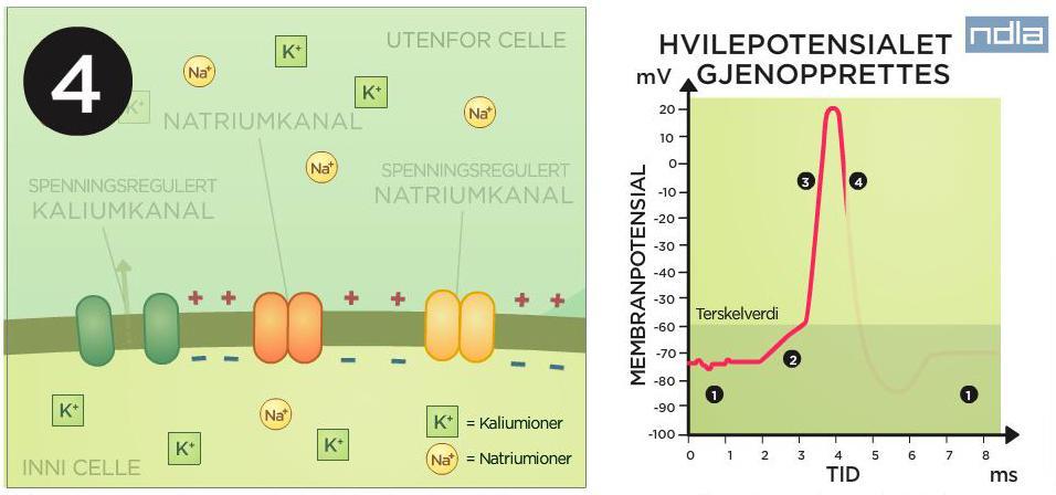Cellemembranen og graf som viser ladninga. Teikning.