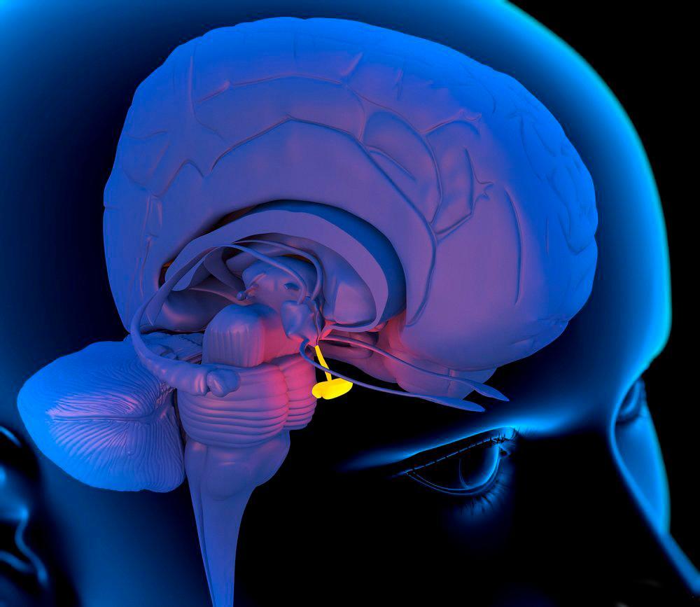 Hypofysens plassering i hjernen. Illustrasjon.