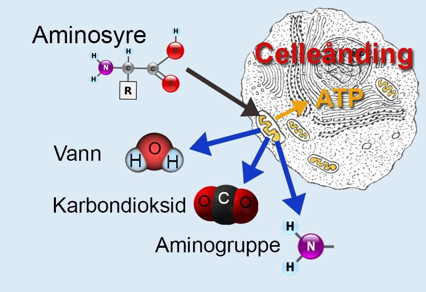 Tegning av celle med stoffer som går inn og ut.