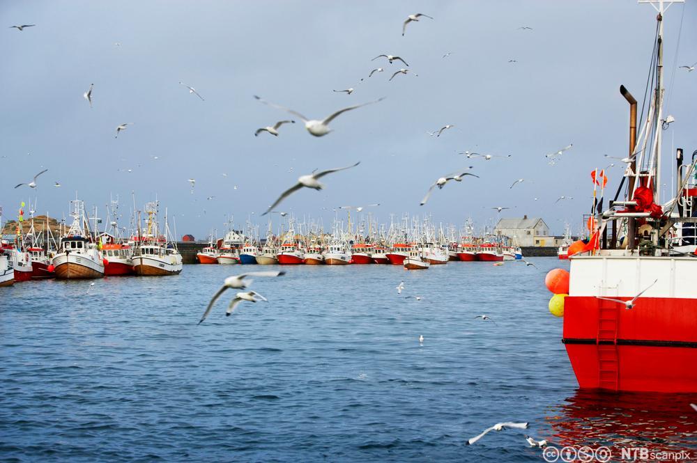 Mange fiskebåter i hamn og måker som flyg rundt. Foto.