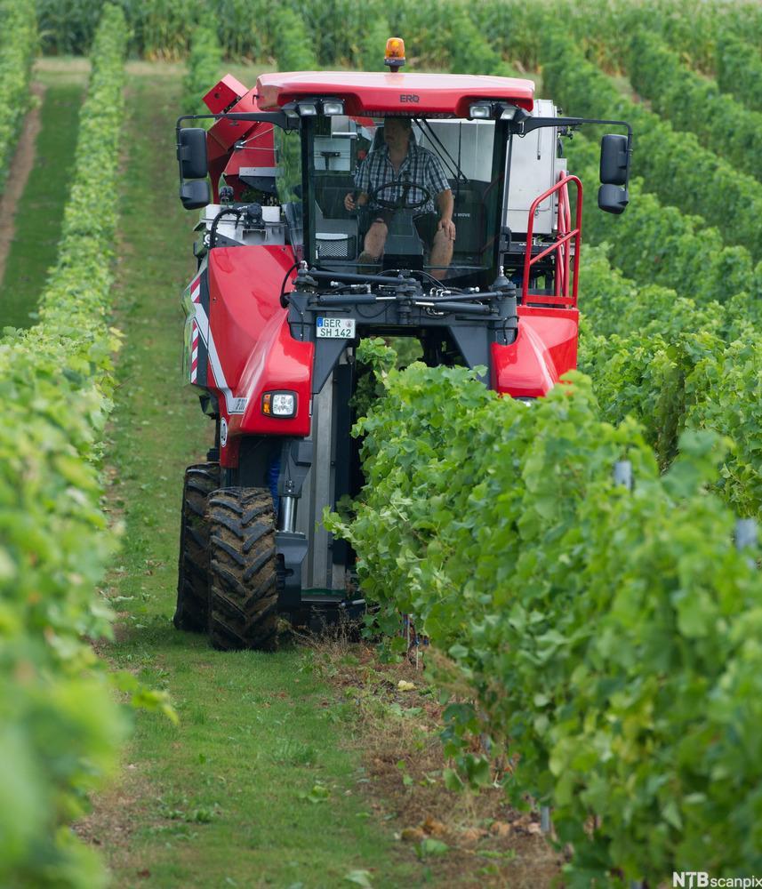 Druehøsting med traktor. foto.