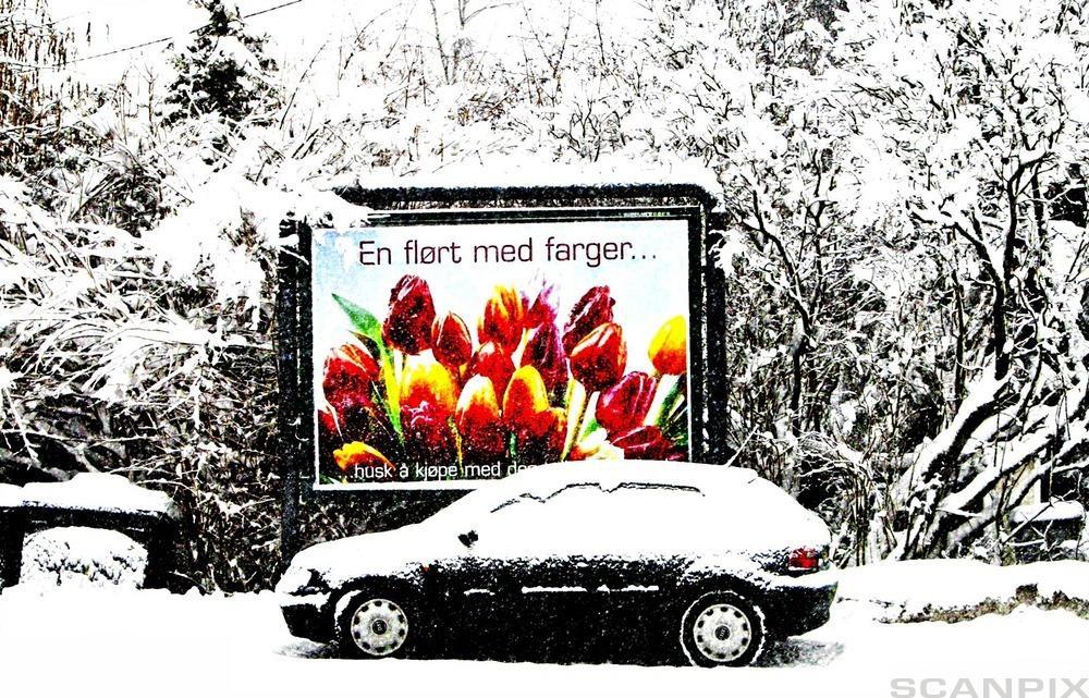 Nedsnødd bil i et hvit landskap med en stor reklameplakat for fargerike tulipaner i bakgrunnen. Foto.