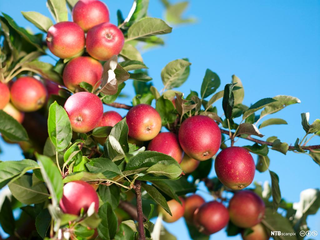 Epler på epletre. Foto.