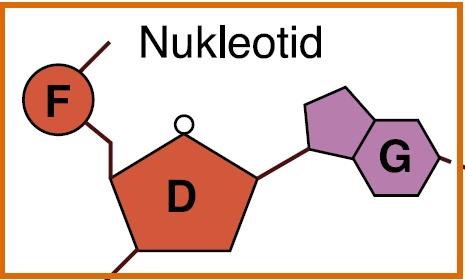 Fosfatgruppe (F), sukker (D) og nitrogenbase (G) bundet sammen. Illustrasjon.