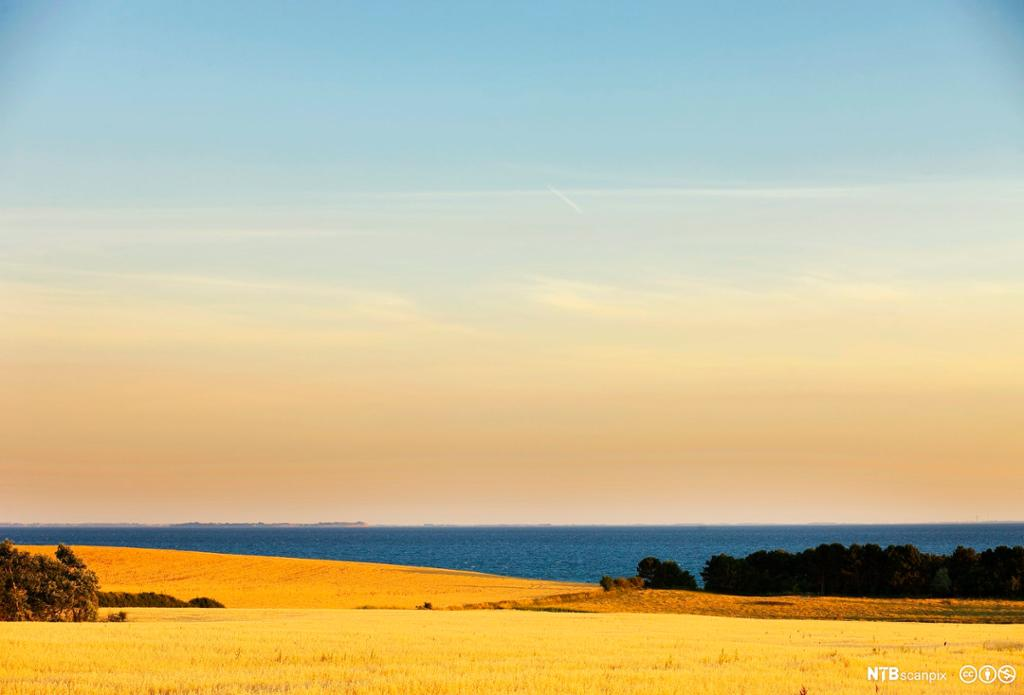 gul kornåker i solnedgang. foto.