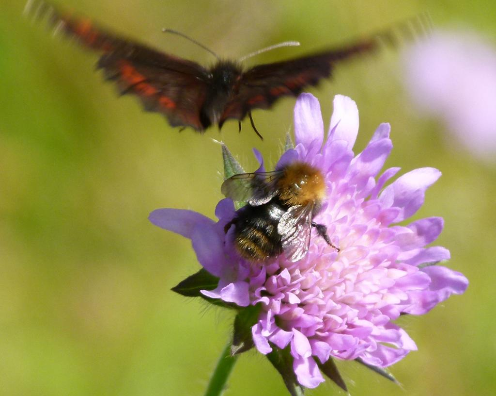 En humle på en blomst, mens sommerfuglen flyr bort.