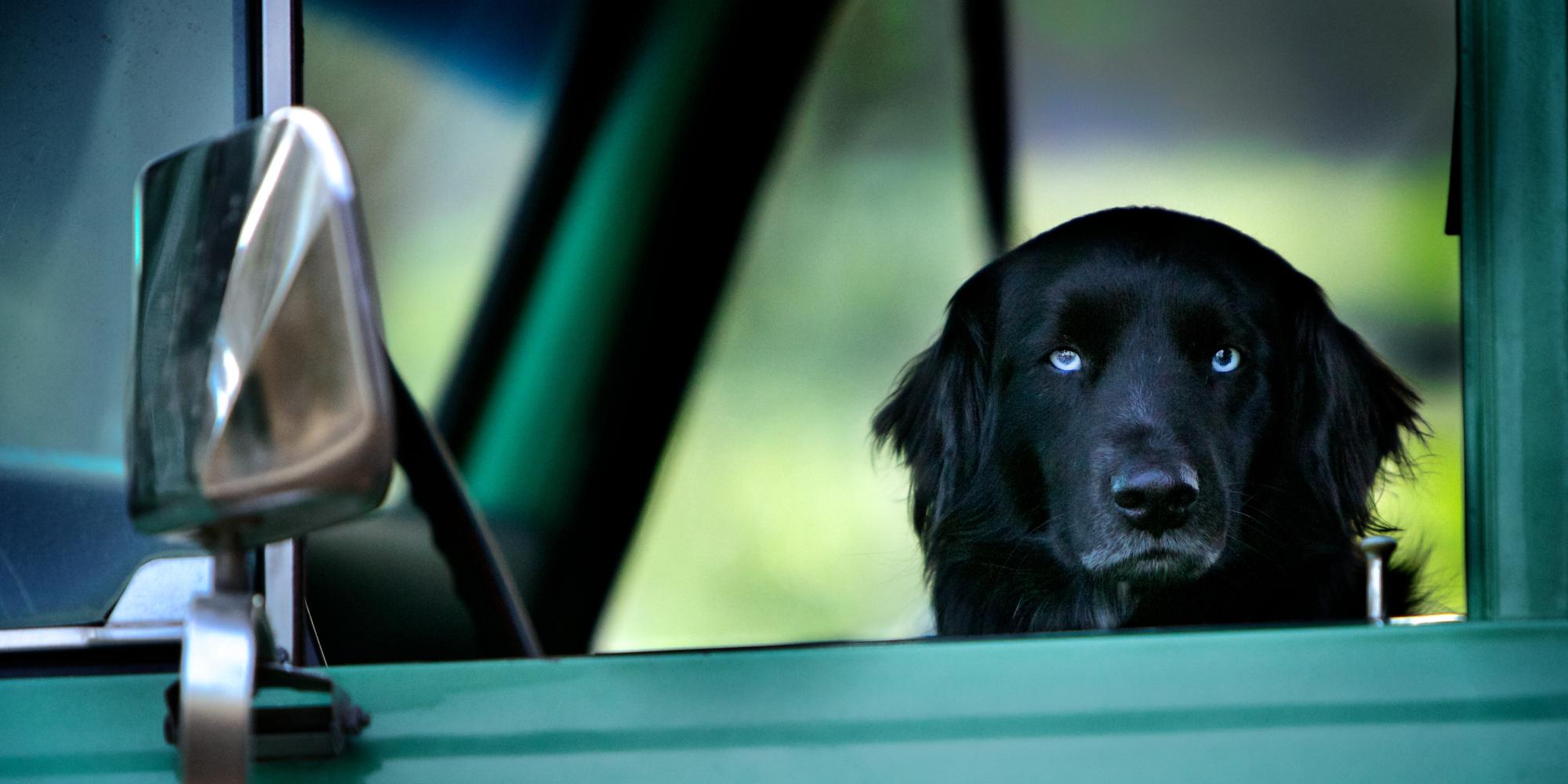 Svart hund med blå øyne ser i kamera. Sitter i førersetet på en grønn bil. Foto.