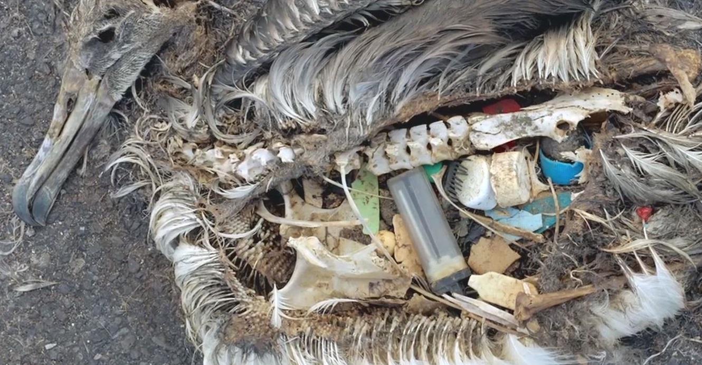 Plast og annet søppel som har havnet i magen til en død fugl. Foto.