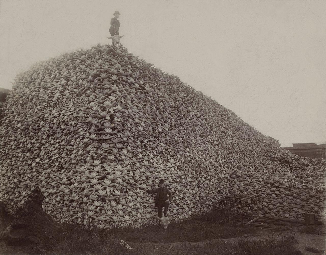 Mann står på toppen av enorm haug med hodeskaller fra dyr. Foto.