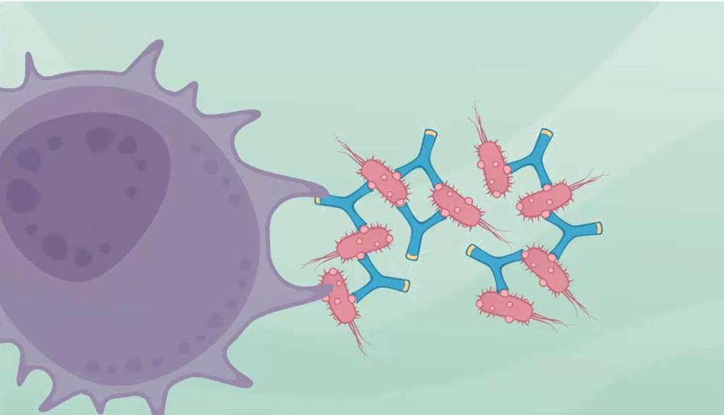 Makrofag omslutter bakterier. Illustrasjon.