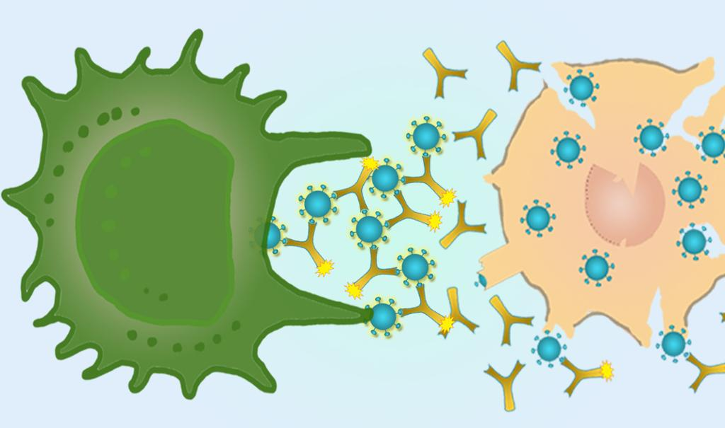 Makrofag sluker agglutinering