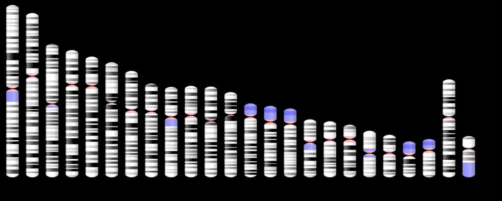 Kromosom nummer 1 er størst, og Y-kromosomet er minst. Illustrasjon.