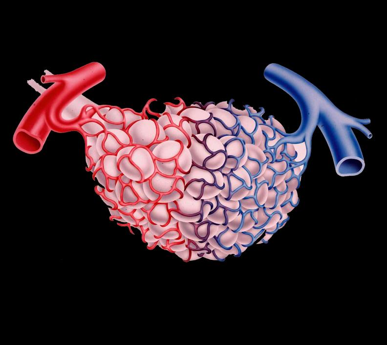 Tegning av lungeblærer og kapillærer. Illustrasjon.