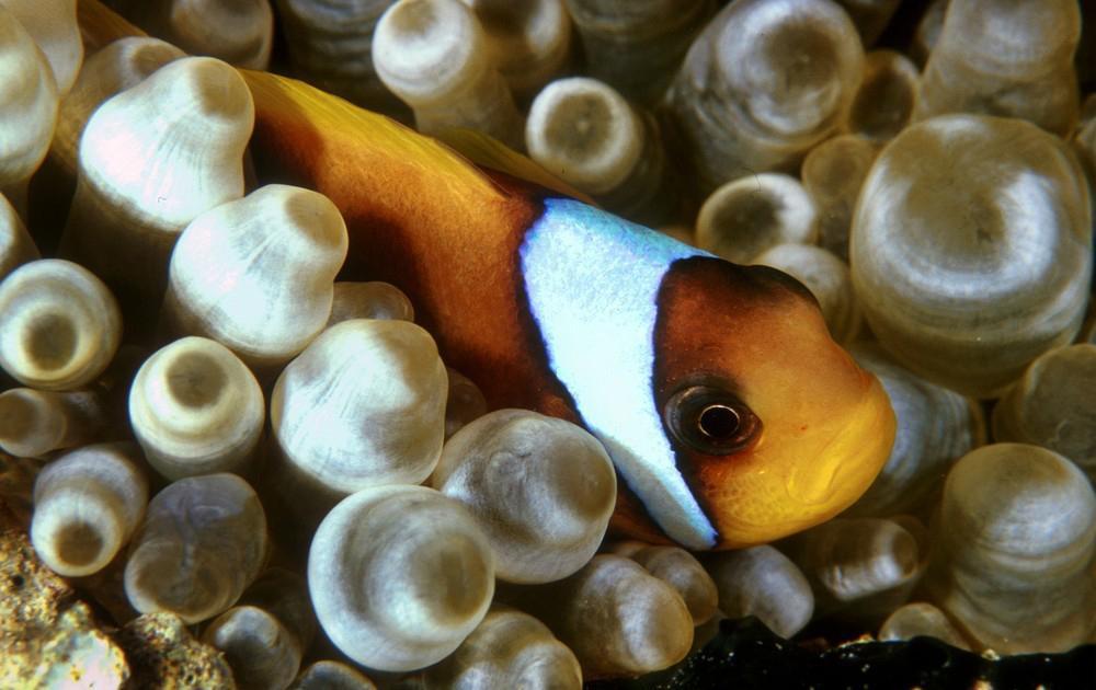 Klovnefisk som gjemmer seg blant anemoner
