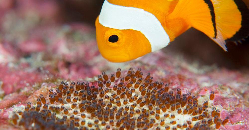 En anemonefisk ved eggene. Foto.