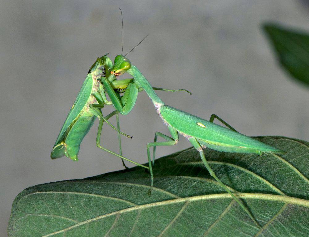 Knelere hvor hunnen spiser opp hannen etter parring.