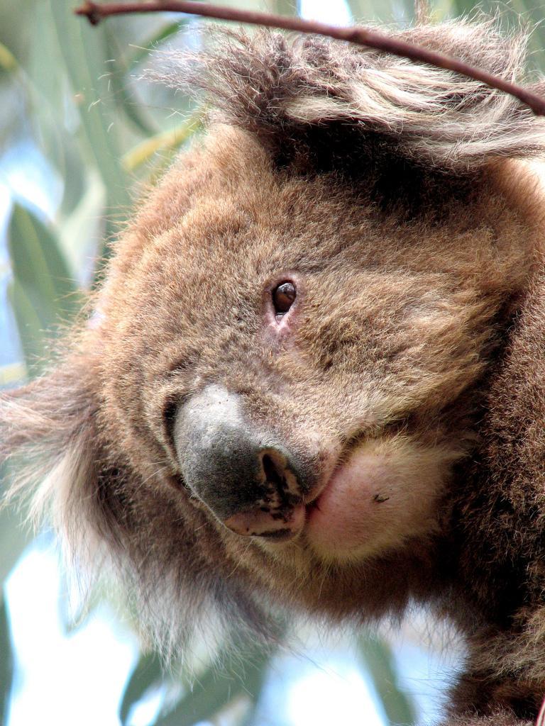 Koala bear. Photo.