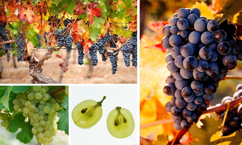 Kollasj: druer