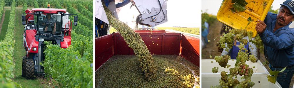 Kollasj: innhøsting av druer