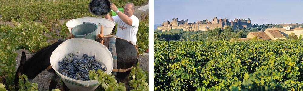 Mann som fyller bøtter med druer på et esel og vinranker fra Midi.
