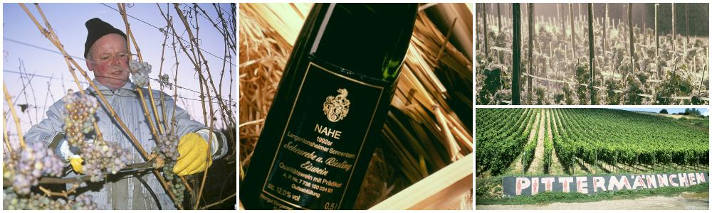 Høsting av druer til isvin. Vinranker i åsen og vinflaske.