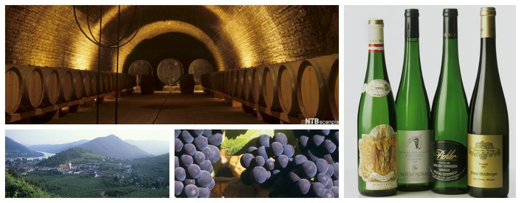 En vinkjeller med tønner. Blå druer og landskap i Østerrike.foto.