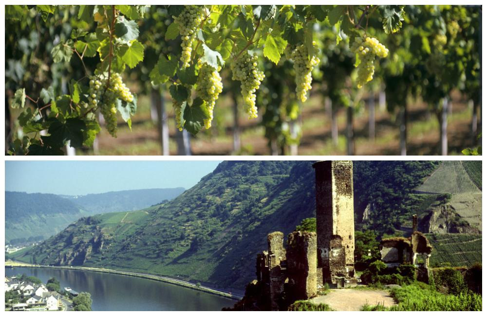 Ruiner av slottet Metternich og Müller-Thurgau vinstokker.