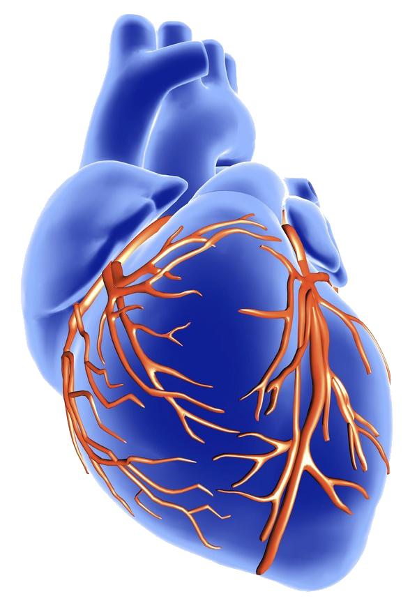 Blått hjerte med tydelige røde kransarterier. Tegning.