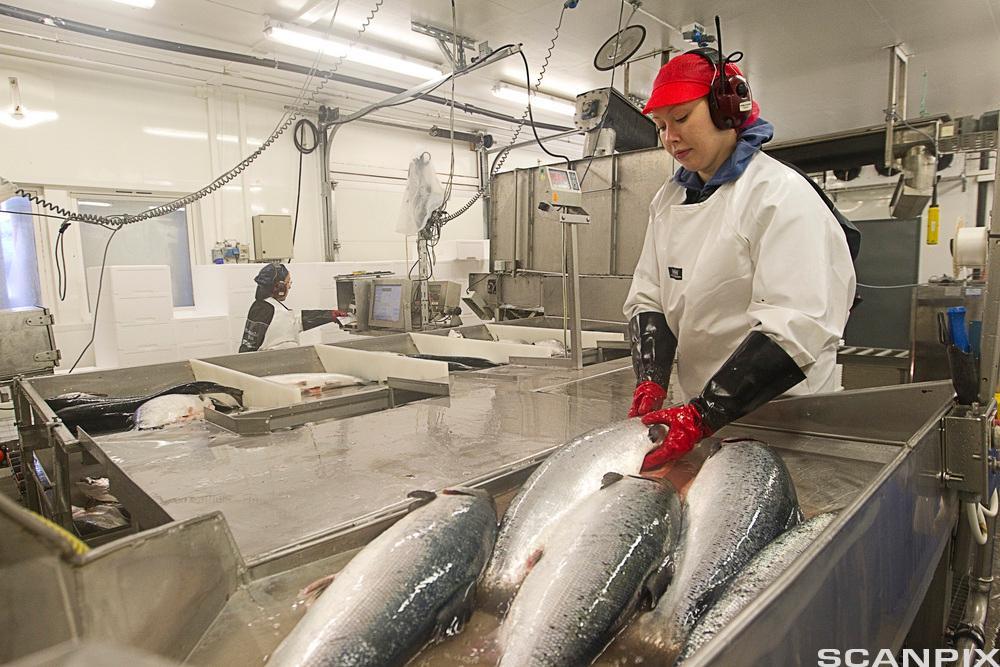 Ein kvinneleg arbeidar i fiskeindustrien. Foto.