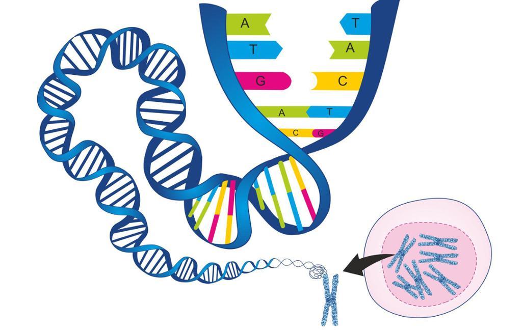 Arvestoff forstørret fra kompakte kromosomer til utstrakt DNA-streng. Illustrasjon.