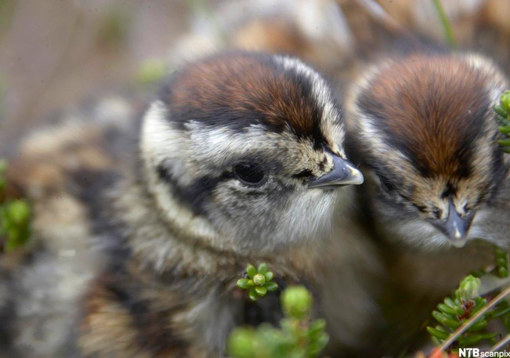 Reir av lirype, (Lagopus lagopus) , nyklekte unger. Flakstadøy, Lofoten