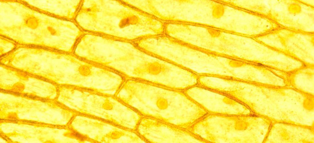 Mikroskopbilde som viser løkceller som danner tett vev.